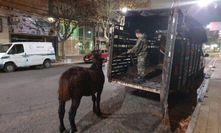 Secuestran un caballo en muy mal estado en la avenida 6 de Julio